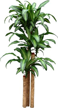 Dracaena Corn Plant -- Finally figured out what my house plant really is, after Home Depot advertised it as a Yucca plant. Now I need to get some fertilizer this summer and see if I can't help it out a bit.