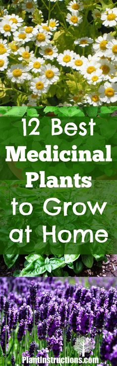 medicinal plants to grow at home
