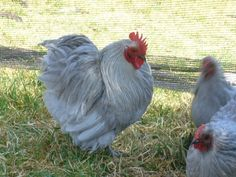 lavender bantams | beautiful Lavender bantams... wowza!