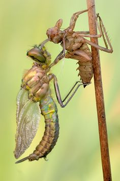 An adult dragonfly shedding it's nymph shell. Awesome!