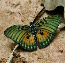 Euphaedra edwardsii, Edwards' Forester, is a butterfly in the Nymphalidae… Flying Flowers, Butterflies Flying, Flying Insects, Bugs And Insects, Beautiful Bugs, Beautiful Butterflies, Butterfly Kisses, Butterfly Wings, Beautiful Creatures