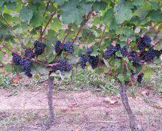 Ancient grape vareties