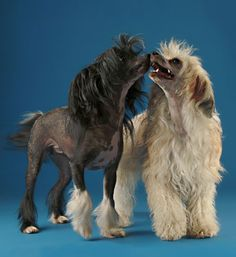 All hairless breeds of domestic dogs have the same mutation on the gene on chromosome Chinese Crested Hairless, Chinese Crested Powder Puff, Tiny Horses, Hairless Dog, Photo Animaliere, China, Dog Portraits, Beautiful Dogs, Rescue Dogs