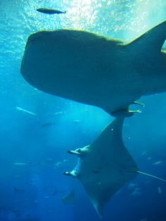Mr.WhaleShark dating with Pretty EagleRay