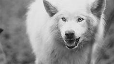 White Wolf : 15 Photos of the Most Amazing Animal in Alaska - Arctic Wolves.