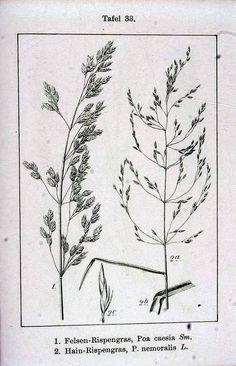150263 Poa nemoralis L. / Sturm, J., Krause, E.H.L., Lutz, K.G., Flora von Deutschland in Abbildungen nach der Natur, Zweite auflage, vol. 3: t. 33, fig. 2 (1900)
