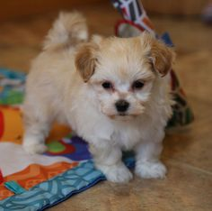 Nowość 9 Best Maltipoo Puppies For Sale! images | Maltipoo puppies for NP34