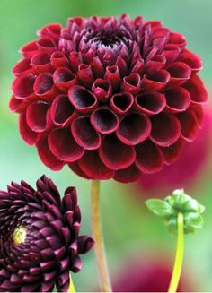 Buy Dahlia 'Jowey Mirella' from Sarah Raven: A deep, rich black dahlia with small to medium sized flowers. One of the very best cut flower varieties with a good vase life. All Flowers, Exotic Flowers, Fresh Flowers, Beautiful Flowers, Wedding Flowers, Black Flowers, Dahlia Flower, My Flower, Growing Dahlias
