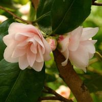 Camellia 'Spring Mist' -- blush punk, double flowers, Grows about T × W. Very fragrant. Plant by dog kennel or potty area. Long blooming period: October to March. Spring Garden, Camellia, Plants, Planting Flowers, Spring Blooms, Flowers, Bloom, Elegant Flowers, Winter Garden