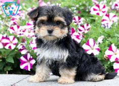 Sunshine | Morkie Puppy For Sale | Keystone Puppies  #Morkie #KeystonePuppies