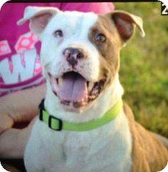 Albemarle, NC - Pit Bull Terrier Mix. Meet Thomas, a dog for adoption. http://www.adoptapet.com/pet/13992795-albemarle-north-carolina-pit-bull-terrier-mix