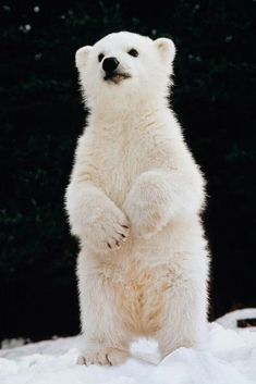 Polar Baby Animals That Can Warm Your Heart Even in Extreme Cold Cute Baby Animals, Animals And Pets, Funny Animals, Wild Animals, Baby Panda Bears, Baby Pandas, Baby Otters, Cute Polar Bear, Polar Bear Cubs