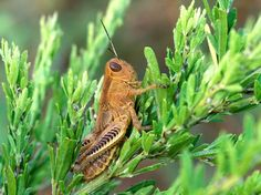 Grasshopper in Meadow, Insects, Grasshopper, wallpaper
