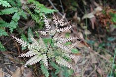 Adiantum silvaticum - pink new frond Maidenhair Fern, Plants, Pink, Plant, Pink Hair, Roses, Planets