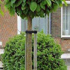 kugel trompetenbaum pflege standort und schneiden pinterest trompetenbaum kugel. Black Bedroom Furniture Sets. Home Design Ideas