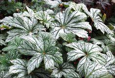 Rhizomatous Begonia Silver Splendor
