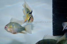 Papiliochromis ramirezi-5-124