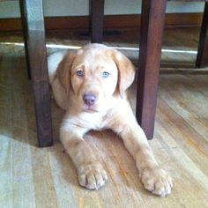 Our new Fox Red Lab puppy with very rare green eyes - fittingly named Irish Princess