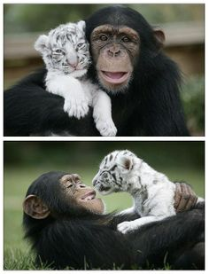 Animals are more humane. animals befriend other breeds/races ; ). how cute are this chimp & white tiger : )