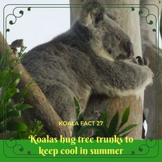 Koalas have to conserve moisture while they cool down, so they worked out that hugging trees is the trick 🙃🐨 Interesting Stuff, Cool Stuff, Koala Bears, Tree Trunks, Conservation, Hug, Applique, Core, September