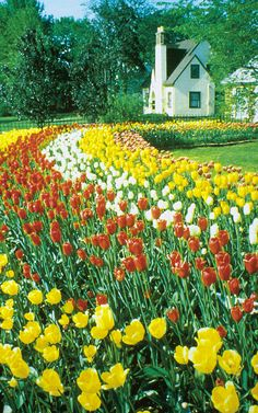 Pella's annual Tulip Time Festival.   See windmills and acres of tulips;   taste Dutch letter pastries; watch Klokkenspel,   the animated musical; and stroll through   courtyards and sunken gardens.