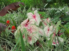 'White Queen' Caladiums  #Florida #garden...i love how it looks like its peaking out thru the green