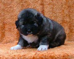 Caucasian Ovcharka / / Dog Breed ...