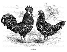 Antique Rooster Hen Anconas Clip Art Vintage by TheOldDesignShop