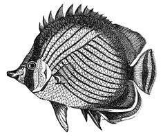 Fish Clip Art Black And White | Fish graphics from an Early Natural History book ! These are all black ...