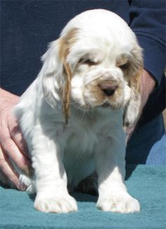Clumber Spaniels - Welcome to our site