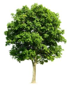 Find Walnut Tree Latin Name Juglans Regia stock images in HD and millions of other royalty-free stock photos, illustrations and vectors in the Shutterstock collection.