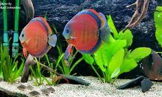 #TropicalFishFreshwater
