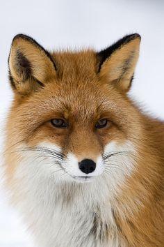 Red Fox (Vulpes vulpes) - last night's backyard visitor