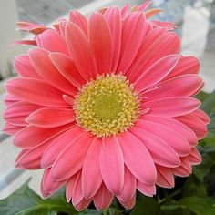 Pink Gerbera daisies in a pot -- so I can plant them!