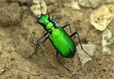 Beetle Animal   Tiger Beetle - click to view larger photo
