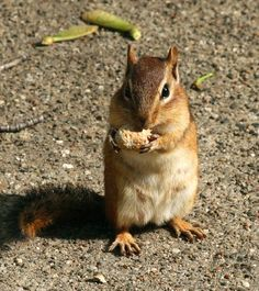 Couldn't resist giving the chipmunk a peanut!