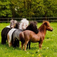 I want to hang out with this gang of cuties ❤️ - Pferde - meine Leidenschaft, Teil Shetland Ponys, ®™ - Horse Pretty Horses, Horse Love, Beautiful Horses, Animals Beautiful, Poney Miniature, Miniature Ponies, Tiny Horses, Horses And Dogs, Black Horses