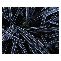 Ophiopogon planiscapus 'Nigrescens' - Black Grass