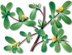 Herbal Plants, Medicinal Plants, Natural Medicine, Heaven On Earth, Herbalism, Nature, Omega 3, Minnie, Healing Herbs