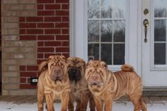 King City, Ontario, CANADA: URGENT! On February 21st, 38 shar-pei puppies will be put up for auction. They will likely be sold to puppy millers who may put them in cages and have them live in horrible conditions. The majority of these dogs are puppies, young females, and even some that are already pregnant. There are also two litters...