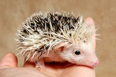 "Baby hedgehog ""hoglet"" at 3 weeks Animals And Pets, Cute Animals, Gooseberry Patch, Baby Hedgehog, Hedgehogs, 3 Weeks, Animal Kingdom, Cute Pictures, Lily"