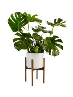 Split-Leaf Philodendron + White Ceramic in a Wood Stand