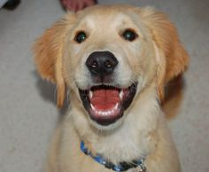 Golden Retriever puppy  His name is Dodger