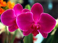 Orquídea Violeta, singela e exuberante.