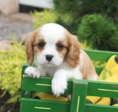 Cavalier King Charles Spaniel Puppies for Sale | Lancaster Puppies