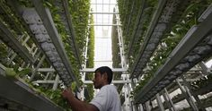 Vertical farming is great for growing lots of food in a small space, but productivity comes at a cost: high energy use. We need to consider other, more sustainable, types of urban agriculture, says Andrew Jenkins Best Fish For Aquaponics, Indoor Aquaponics, Hydroponics, Heating A Greenhouse, Greenhouse Farming, Prawn Farming, Fish Farming, Agriculture Verticale, Aqua Farm