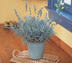 """Lavender """"Goodwin Creek Grey"""" Unlike most garden Lavenders, this tender variety thrives indoors and will throw spikes of deep blue flowers above mounds of pungently fragrant foliage"""