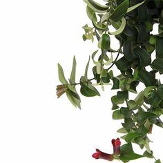 De Aeschynanthus is zeer decoratief als hangplant maar komt ook in grote schaal zeer tot zijn recht. Hij houdt van vochtige wortels, het liefst lauw water. Het uiterlijk van de plant wordt gekenmerkt door de dreadlock-achtige groeiwijze. Geeft rode bloemen, ook wel lipstick flowers genoemd. Bonsai, Plants, Plant, Planets, String Garden