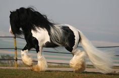 The Gypsy Horse (USA), also known as a  Gypsy Cob, Gypsy Vanner (USA), Irish Cob (Ireland/UK), Coloured Cob (UK/Ireland) or Tinker horse (Europe)