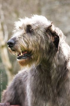 encyclopediapage / Breed Encyclopedia / Purebred Dogs / Your Dog / Home… Giant Dogs, Big Dogs, Cute Dogs, Dogs And Puppies, Doggies, Irish Dog Breeds, Hounds Of Love, Purebred Dogs, Dog Pictures